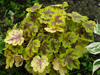 �uraweczka Heucherella 'Solar Power'
